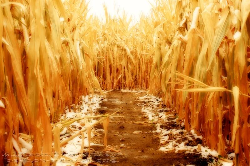 Corn Maze with Snow